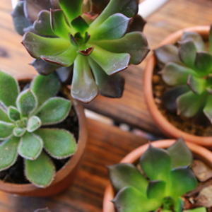 Photo Blog Featured Succulents Small